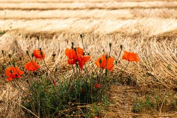 Mohn im Leinfeld in der Normandie in Frankreich