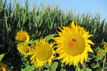 Sonnenblume am Feldrand 14