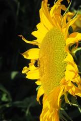 Sonnenblume closUp