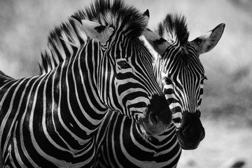 Foto op Plexiglas Zebra close up of zebra