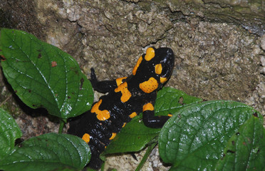 A Fire Salamander (Salamandra Salamandra – tee most common salamander in Europe) on a forest rock in Slovenia
