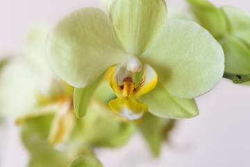 Beautiful yellow-green orchid flower (Cattleya Orchids, Cattleya labiata) isolated ot white background. Macro photography, wallpaper, pattern, selective focus.