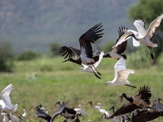 Flying flock of birds, Ethiopia