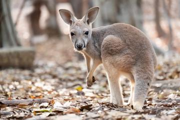 Aluminium Prints Dark grey Kangaroo