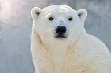 Deurstickers Ijsbeer polar bear on white background