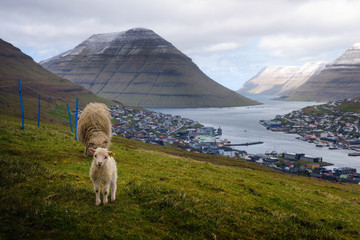 Wall Mural - Sheep with a lamb on a hill above the city of Klaksvik in the Faroe Islands