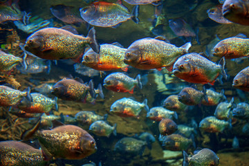 red piranha fish swim in group