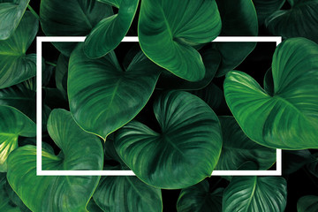 Wall Mural - Leaf pattern nature frame layout of heart shaped green leaves Homalomena tropical foliage plant on dark background with white frame border.