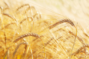 Ears of barley in a field. Harvesting period