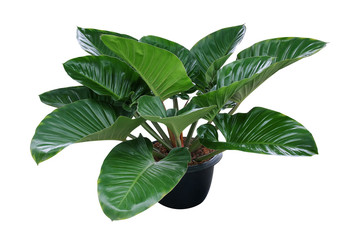 Wall Mural - Heart shaped dark green leaves of philodendron tropical foliage plant bush in black plastic flowerpot, popular houseplant isolated on white background with clipping path.