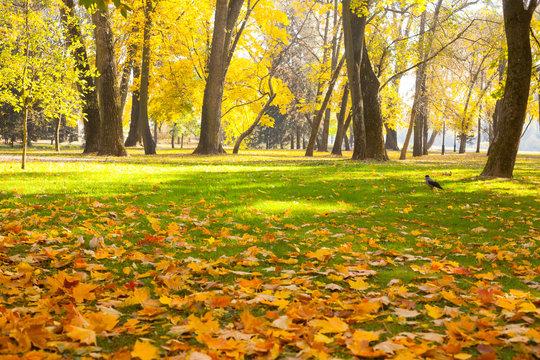 Autumn city park with fallen maple leaves