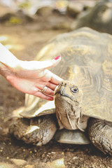 Hand with wedding ring and red nails petting a tortoise