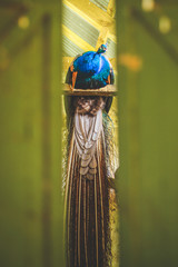 Peacock on a perch visible between two green barn doors