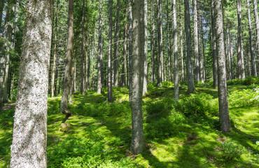 Papiers peints Forets Wald Motiv mit Bäumen auf Moos Untergrund