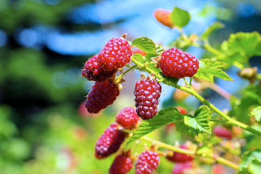 Tayberrry Beeren an der Pflanze im Garten -Tayberry fruits on the plant in garden