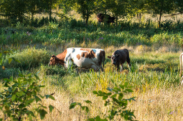 Foto op Canvas Koe cows graze in the summer on the field on a sunny day and eat green grass alfalfa clover