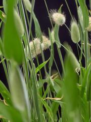 Obraz Gentle flowering Hare Lagurus ovatus.On black background - fototapety do salonu
