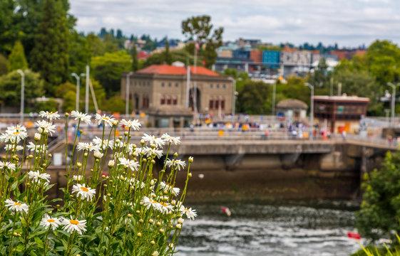 Ballard Locks Beyond Daisies near Seattle