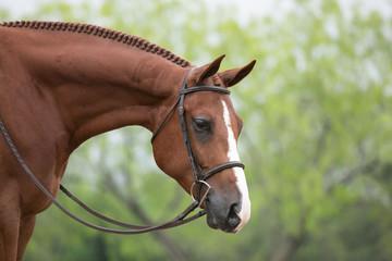 Fototapeta Hunter Horse
