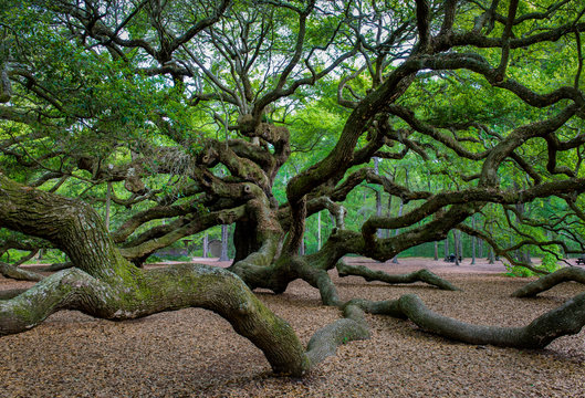 Branches of ancient Angel Oak, a 500-year-old southern live oak (Quercus virginiana) on Johns Island near Charleston, South Carolina. Longest branch is nearly 190 feet long.