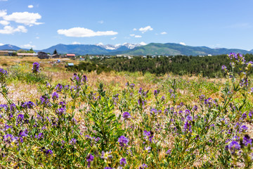 Zelfklevend Fotobehang Lavendel Landscape view foreground of purple flowers during summer from High Road to Taos of mountains and village called Truchas