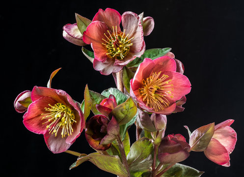 Helliborus flowers (also called Lenten rose). Blooming in late winter in central Virginia.
