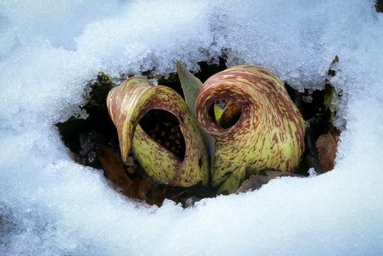 Flowers of skunk cabbage (Symplocarpus foetidus) blooming after snowstorm. Flowers generate heat through rapid growth, which melts away snow and allows them to attract pollinators