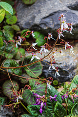 strawberry begonia in bloom with fancy leaf patternin ged and green
