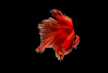Light red color Siamese fighting fish, betta fish was isolated on black background. Fish also action of turn head in different direction during swim.