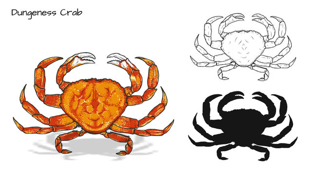 Crab vector by hand drawing.crab silhouette on white background.Dungeness Crab art highly detailed in line art style.Animal pictures for coloring