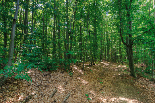 path through primeval beech forest. beautiful summer scenery