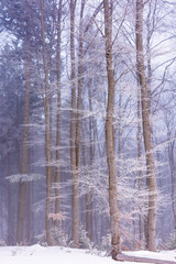 winter forest in fog and hoarfrost. beautiful woodland scenery in the morning. wonderful nature scenry