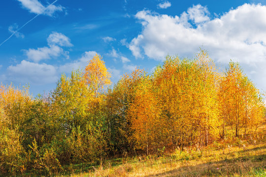 birch trees in golden foliage on the hill. beautiful fall scenery on a bright day beneath a blue sky with fluffy clouds
