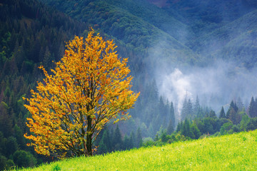 tree in yellow foliage on the grassy meadow. beautiful autumn nature scenery in mountains. forest in the distance in smoke