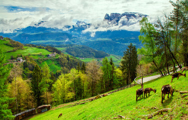 Sunny spring landscape of Dolomite Alps, Italy. Green meadows with mountain goats.