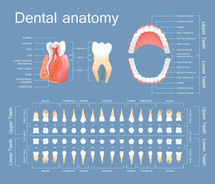 Human dental anatomy. Tooth anatomy numbering infographics.