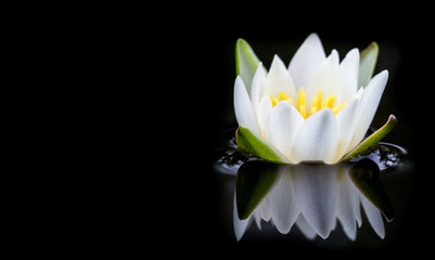 Wall Murals Water lilies white water lily on black background