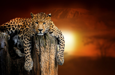 Leopard on savanna landscape background and Mount Kilimanjaro at sunset