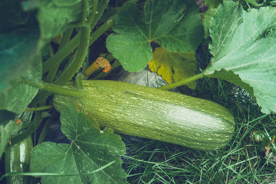 ripe zucchini growing healthy food