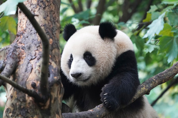 Autocollant pour porte Panda Giant panda over the tree.