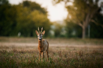 Spoed Fotobehang Ree Roe deer buck on a field