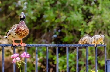 Mallard duck and squirrel standing on backyard fence, both looking at camera.