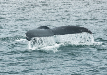 Humpback Whale Tail Fluke, Megaptera Novaeangliae, Southeast Alaska