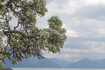 Obstblüte am Soggnefjord