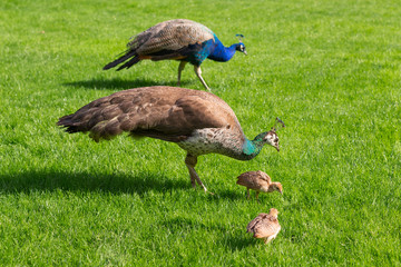 Peacock, Peahen and their chicks on a lawn in an English country estate.