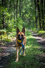 Adult German Shepherd Active Dog, Exercises in Forest, Helthy Lifestyle