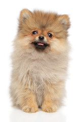 Cute Pomeranian Spitz puppy on white background