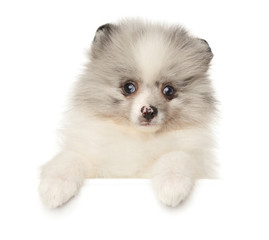 Pomeranian Spitz puppy marble color above white banner