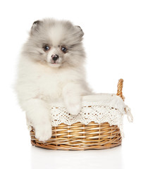 Pomeranian Spitz puppy marble color in baster