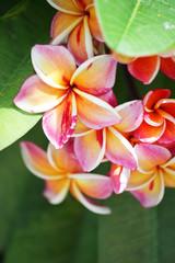 Tuinposter Frangipani close up of beautiful plumeria flower background